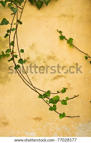 A few branches of green ivy swirl gracefully on an ancient yellow wall in Italy.  Room for copy. - stock photo