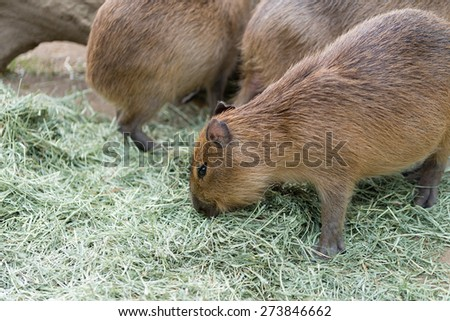 A few capybaras eating dried grass. - stock photo