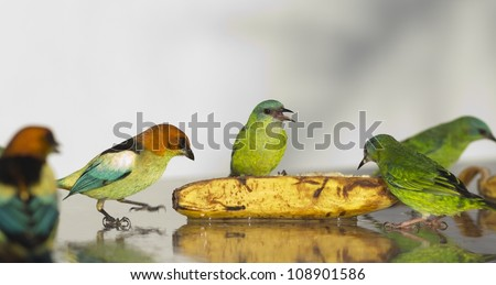 A few female Blue Dacnis with a Black-backed Tanager eating banana. They are beautiful orange, light blue and green birds. - stock photo