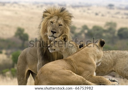 A few females in the pride greet the male lion upon his return. - stock photo
