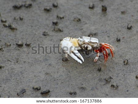 A fiddler crab on sand beach. - stock photo