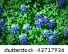 A field of bluebonnets close up - stock photo