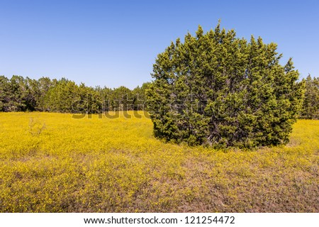 A field of Broomweed and Cedars grow in Texas under clear summer skies.