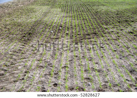 A field of canola seedlings for the production of alternative fuel for vehicles. Brassica napus. - stock photo