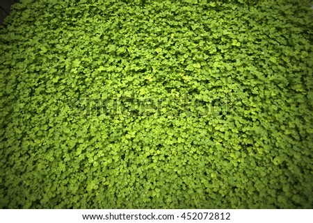 A field of clover quatrefoil, background, texture