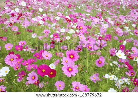 A field of cosmos - stock photo