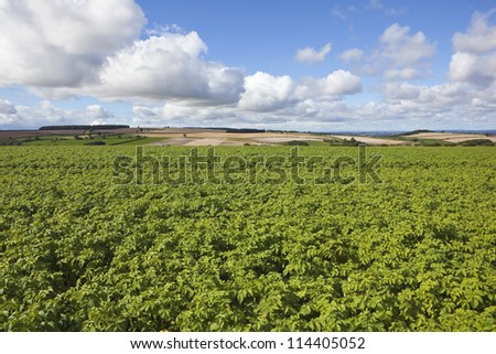 a field of healthy potato plants growing in a farmland landscape under a blue sky with shower clouds - stock photo