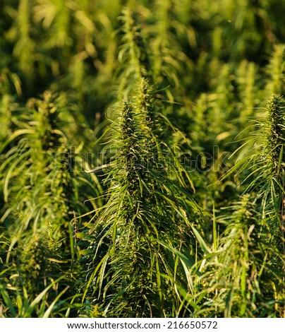 A field of hemp - stock photo