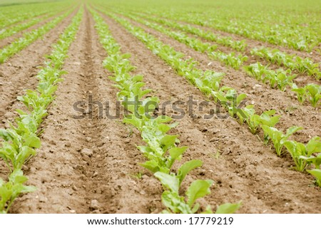 A field of newly planted sugar beets