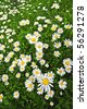 A field of oxeye daisies - stock photo