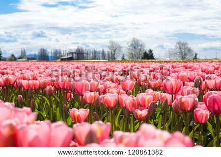 A field of pink tulips in full bloom. - stock photo