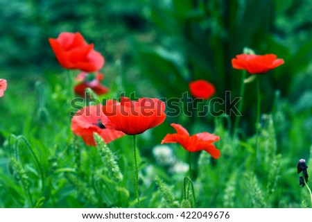 A field of poppies - stock photo