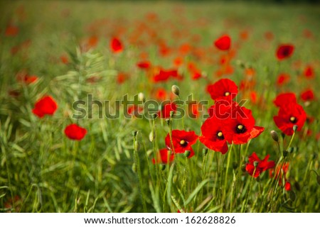 A field of poppies in amongst rape seed - shallow depth of field giving a blurred background - stock photo