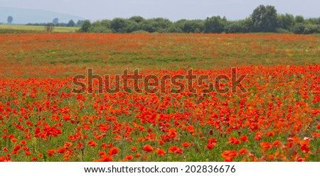 A field of poppies in Ukraine - stock photo