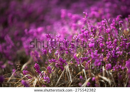 A field of purple forest heather - stock photo