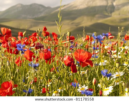 A field of red poppies and other wild flowers - stock photo