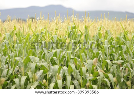 A field of ripening maize, or Corn, Underberg,kwazulu Natal, South Africa. - stock photo