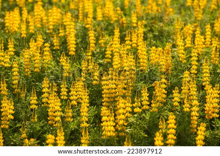 A field of spring yellow flowers (lupines) - stock photo