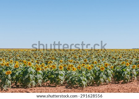 A field of sunflowers.  The flower heads have been pollinated and are wilting, indicating that the seeds are developing - stock photo