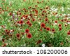 A Field of Texas Wildflowers - Indian Blanket (or Fire Wheel) (plus Others).  Gaillardia pulchella (Asteraceae) - stock photo