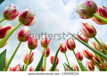 A field of white and red colored tulips in holland - stock photo