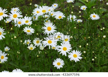 A field of white chamomile flowers in late Spring - stock photo