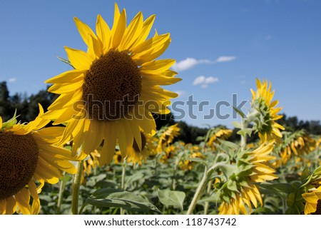A field of yellow sunflowers (Helianthus annuus) with a blue sky background. - stock photo