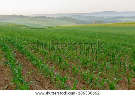 A field of young corn plants on a misty summer morning - stock photo