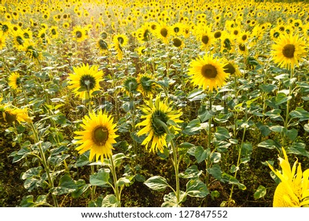 a field with sunflowers and sunlight - stock photo