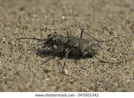 A fierce insect predator, a Bronzed Tiger Beetle rests on the sandy ground on a Lake Michigan beach. - stock photo