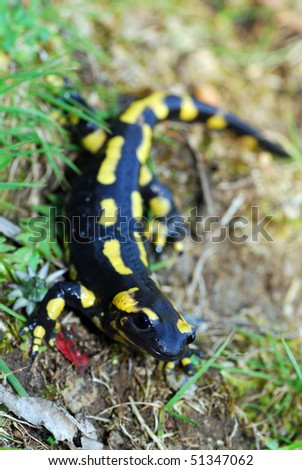 A fire salamander in the Spanish Pyrenees Mountains