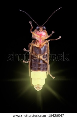 A firefly is glowing in the dark. - stock photo