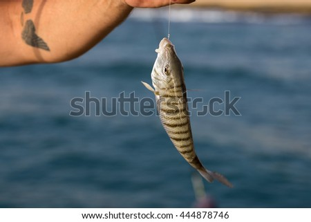 A fisherman presents his fresh catch of a White Sea-bream fish called Sargo (Diplodus Sargus) still hanging on the hook - stock photo
