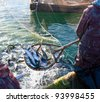 a fisherman scoops up fish from a net - stock