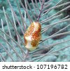 A Flamingo Tongue snail clings to a soft coral - stock photo