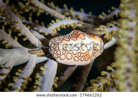 A Flamingo Tongue snail (Cyphoma gibbosum) feeds on a sea fan in the Caribbean Sea. This tropical region harbors a wide diversity of marine life and offers beautiful snorkeling and scuba diving. - stock photo