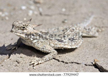 A Flat-tailed horned lizard (Phrynosoma mcallii), a species of special concern, in southern California. - stock photo