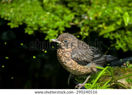 A fledgling Blackbird at the edge of a pond. - stock photo