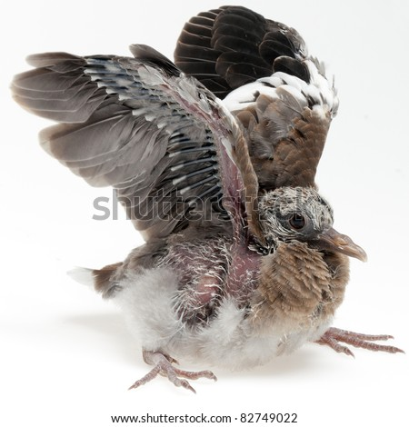 A fledgling pigeon flapping its wings. The quills are not yet fully developed, and the bird is incapable of flight at this stage of development. - stock photo