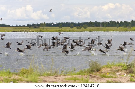 A flock of birds taking off from water