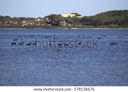 A flock of black swans cygnus atratus  feeding on fish whilst swimming in the calm blue waters of the  Leschenault estuary near Bunbury western Australia on  a summer morning. - stock photo