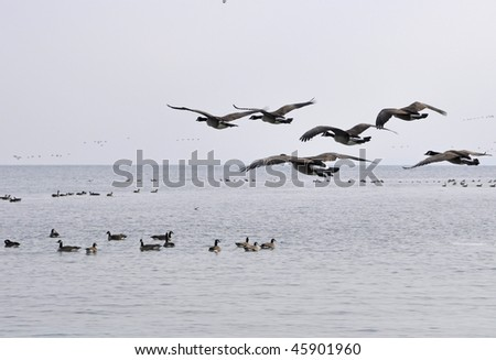 a flock of Canada Geese flying, getting ready to land - stock photo
