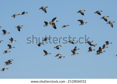 a flock of geese Anser albifrons - stock photo
