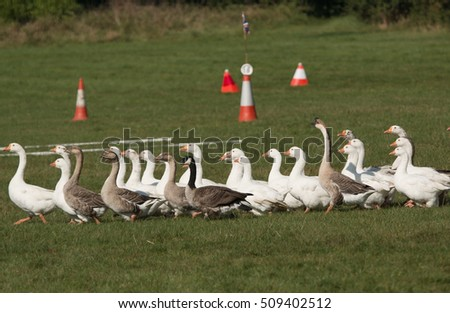 A flock of geese racing across an obstacle course being set out