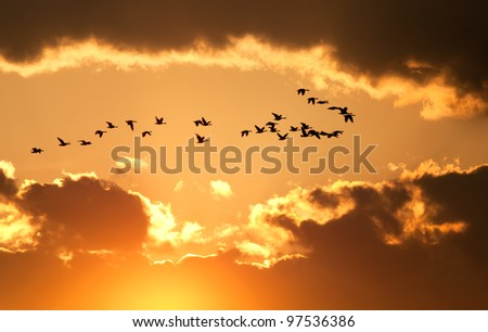 A flock of migratory Canadian Geese flying at sunset - stock photo