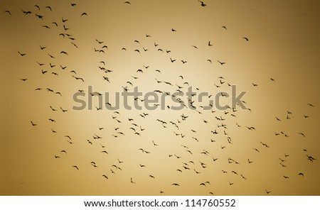A flock of Pigeons fly together in the sunset sky. - stock photo