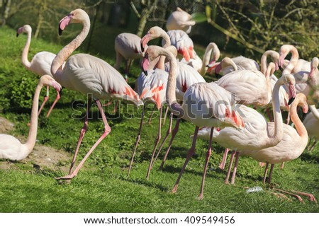 A flock of Pink Flamingos, square cropped. - stock photo