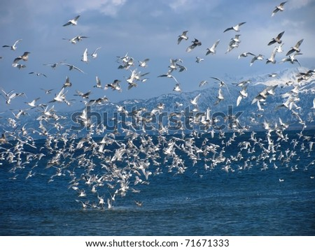a flock of sea birds swarming around bait fish in Alaskan waters with a background of bright blue sky