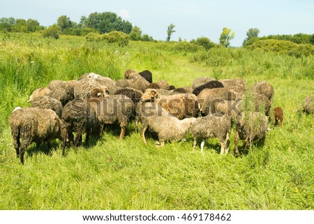 a flock of sheep in the meadow