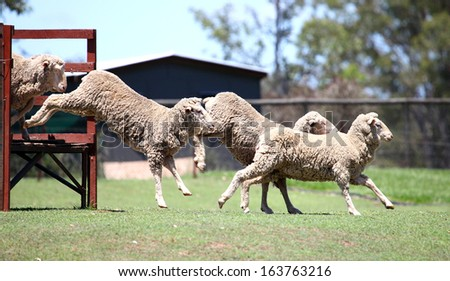 a flock of sheep jumping off a bridge in a paddock in a sheep herding demonstration - stock photo